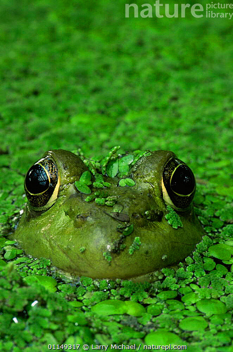 Green frog {Rana clamitans} in duckweed, USA  ,  AMPHIBIANS, AQUATIC, FACES, north america, PONDS, USA, VERTEBRATES, Anura, EYES, FRESHWATER, FROGS, HEADS, weed  ,  Larry Michael