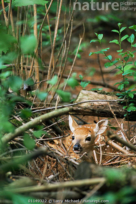 White tailed deer, 2-day fawn in undergrowth {Odocoileus virginianus} Wisconsin, USA  ,  ARTIODACTYLA,BABIES,CAMOUFLAGE,CERVIDS,CUTE,DEER,MAMMALS,north america,USA,VERTEBRATES,VERTICAL,Vulnerable,WOODLANDS  ,  Larry Michael