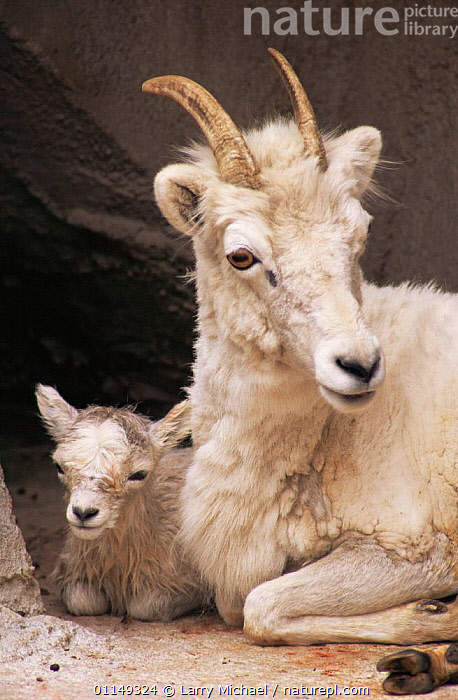 Mountain goat, mother with newborn kid {Oreamnos americanus} captive, Wisconsin, USA  ,  ARTIODACTYLA,BABIES,BOVIDS,FAMILIES,GOATS,MAMMALS,north america,USA,VERTEBRATES,VERTICAL,Antelopes  ,  Larry Michael
