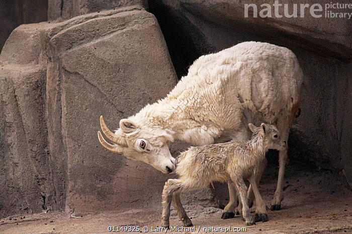 Mountain goat, mother encouraging newborn kid to stand {Oreamnos americanus} captive, Wisconsin, USA  ,  ARTIODACTYLA,BABIES,BOVIDS,FAMILIES,GOATS,MAMMALS,north america,parental behaviour,USA,VERTEBRATES,Antelopes  ,  Larry Michael