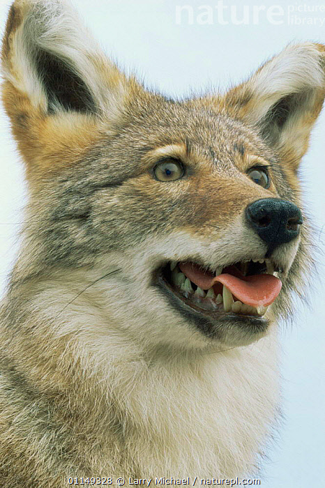 Coyote, taxidermy mount {Canis latrans} Wisconsin, USA  ,  CANIDS,CARNIVORES,COYOTES,FACES,HEADS,MAMMALS,NORTH AMERICA,PORTRAITS,STUFFED,USA,VERTEBRATES,VERTICAL,Dogs  ,  Larry Michael