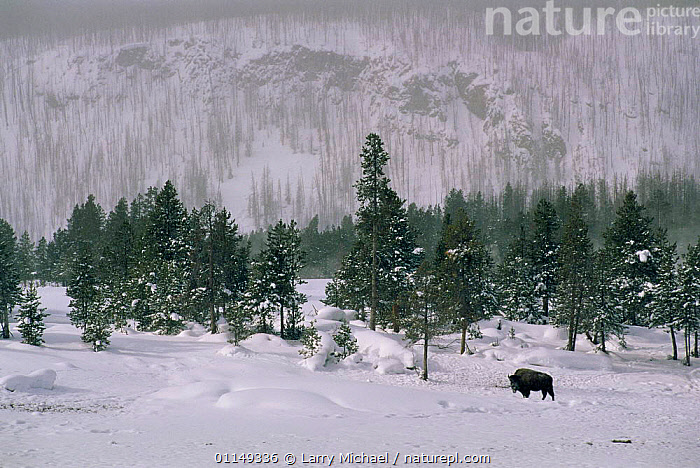 Bison {Bison bison} in thick snow, Yellowstone NP, Wyoming, USA  ,  ARTIODACTYLA,CONIFEROUS,LANDSCAPES,MAMMALS,north america,RESERVE,USA,VERTEBRATES,WINTER  ,  Larry Michael