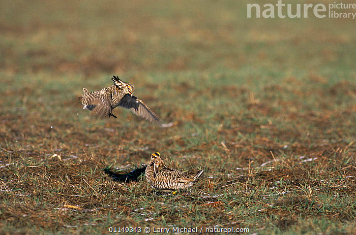 Prairie chicken {Tympanuchus cupido} mating display, Wisconsin, USA  ,  BIRDS,DISPLAY,ENDANGERED,GALLIFORMES,GAME BIRDS,GROUSE,HUMOROUS,MALES,mating behaviour,north america,two,USA,VERTEBRATES,Concepts,Reproduction,Communication,Grassland  ,  Larry Michael