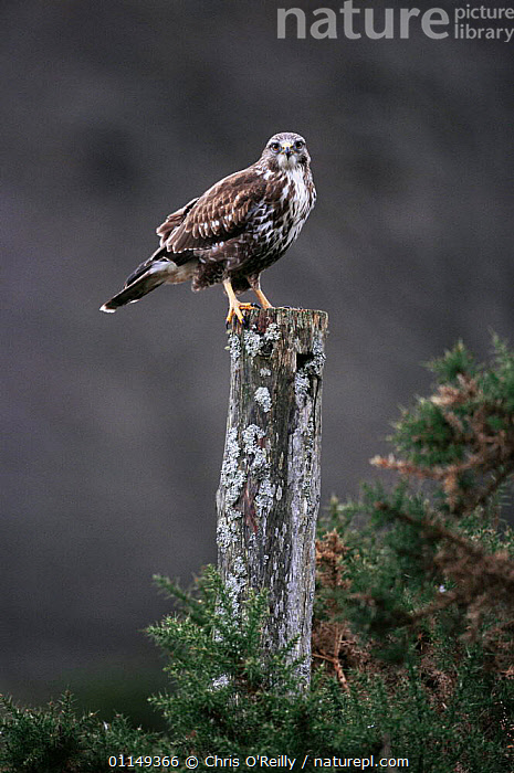 Common buzzard {Buteo buteo} perched, Scotland, UK  ,  BIRDS,BIRDS OF PREY,EUROPE,HAWKS,Raptors,UK,VERTEBRATES,VERTICAL,United Kingdom,British  ,  Chris O'Reilly