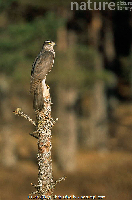 Northern goshawk {Accipiter gentilis} perched in Caledonian pine forest, Scotland, UK  ,  BIRDS,BIRDS OF PREY,CONIFEROUS,EUROPE,HAWKS,PROFILE,Raptors,UK,VERTEBRATES,VERTICAL,United Kingdom,British  ,  Chris O'Reilly
