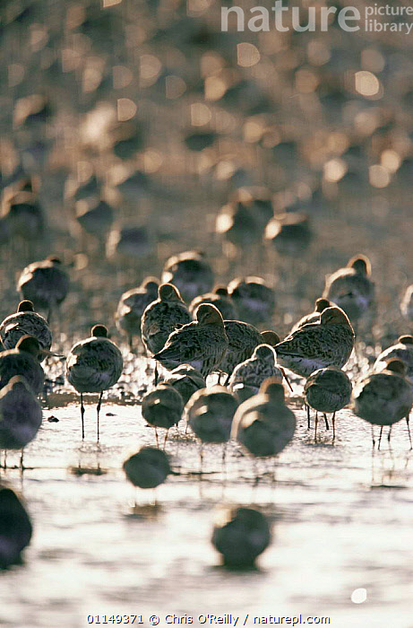 Black tailed godwit {Limosa limosa} flock roosting on beach, Norfolk, UK  ,  BEACHES,BIRDS,COASTS,EUROPE,FLOCKS,GODWITS,GROUPS,shoreline,UK,VERTEBRATES,VERTICAL,WADERS,United Kingdom,British  ,  Chris O'Reilly