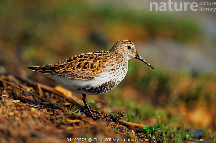 Dunlin {Calidris alpinus} Derbyshire, UK  ,  BIRDS,EUROPE,PORTRAITS,PROFILE,SANDPIPERS,UK,VERTEBRATES,WADERS,United Kingdom,British, Waders  ,  Chris O'Reilly