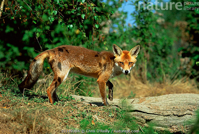 Red fox {Vulpes vulpes} female, captive, Sussex, UK  ,  CANIDS,CARNIVORES,EUROPE,FEMALES,FOXES,MAMMALS,PORTRAITS,UK,VERTEBRATES,vixen,United Kingdom,British,Dogs  ,  Chris O'Reilly