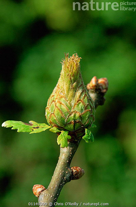 Artichoke gall {Andricus fecundator} on Oak tree, Derbyshire, UK  ,  EUROPE,GALLS,HYMENOPTERA,INSECTS,INVERTEBRATES,PARASITIC WASPS,PARASITISM,PLANTS,UK,VERTICAL,WASPS,United Kingdom,British  ,  Chris O'Reilly