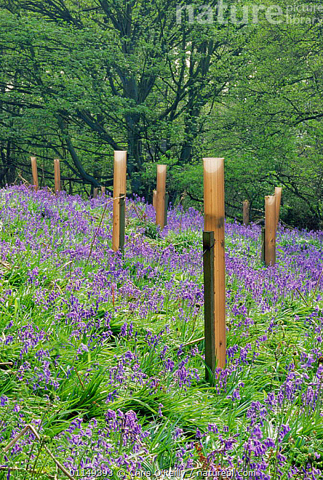 Woodland regeneration, saplings protected from deer and rabbits in bluebell wood, Derbyshire, UK  ,  EUROPE,FLOWERS,GROWTH,IMMATURE,PLANTATION,RESERVE,SAPLINGS,SPRING,UK,VERTICAL,WOODLANDS,YOUNG,United Kingdom,Concepts,British,ENGLAND  ,  Chris O'Reilly