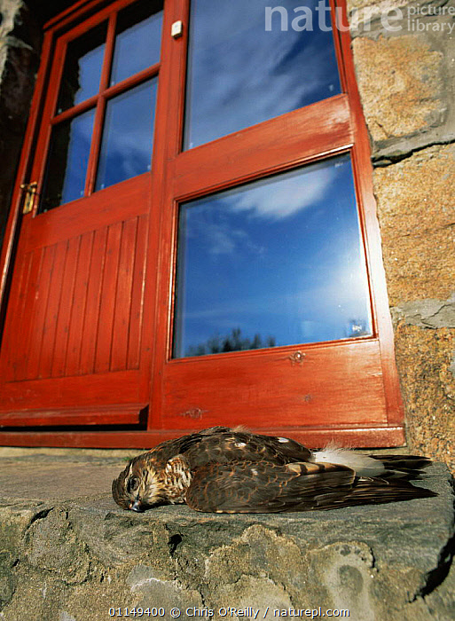 Sparrowhawk {Accipiter nisus} female killed by flying into glass door, Cairngorms NP, Scotland, UK  ,  BIRDS,BIRDS OF PREY,BUILDINGS,DEATH,EUROPE,HAWKS,Raptors,RESERVE,UK,VERTEBRATES,VERTICAL,United Kingdom,British  ,  Chris O'Reilly