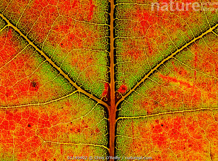 Close up of leaf of Sugar maple {Acer saccharum} showing colour change in autumn, Derbyshire, UK  ,  ABSTRACT,ACERACEAE,close ups,COLOURFUL,DICOTYLEDONS,EUROPE,LEAVES,PLANTS,UK,veins,United Kingdom,British  ,  Chris O'Reilly