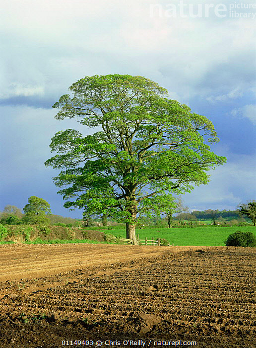 Field maple tree {Acer campestre} in hedgerow of ploughed field, Derbyshire, UK  ,  ACERACEAE,COUNTRYSIDE,DICOTYLEDONS,EUROPE,FARMLAND,LANDSCAPES,PLANTS,PORTRAITS,SPRING,TREES,UK,VERTICAL,United Kingdom,British  ,  Chris O'Reilly