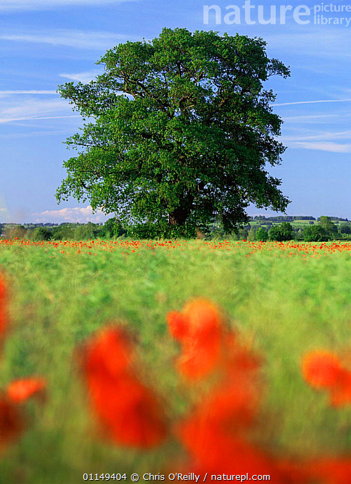 English oak tree {Quercus robur} in farmland, Derbyshire, UK  ,  COUNTRYSIDE,CROPS,DICOTYLEDONS,EUROPE,FAGACEAE,LANDSCAPES,PLANTS,Poppies,SUMMER,TREES,UK,VERTICAL,United Kingdom,British  ,  Chris O'Reilly