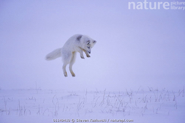 Arctic fox {Alopex lagopus} hunting rodents under the snow, North Slope, Alaska. Sequence 1/3.  ,  ACTION,BEHAVIOUR,JUMPING,MIST,PREDATION,SNOW,TUNDRA,Dogs,Canids,WEATHER ,Catalogue1 ,MAMMALS  ,  Steven Kazlowski