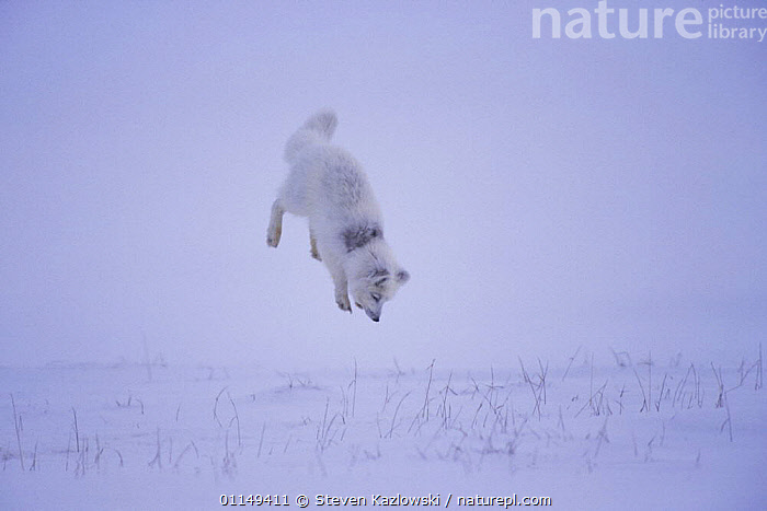 Arctic fox {Alopex lagopus} hunting rodents under the snow, North Slope, Alaska. Sequence 3/3.  ,  ACTION,BEHAVIOUR,HUNTING,JUMPING,MOVEMENT,PREDATION,SNOW,TUNDRA,Dogs,Canids,Catalogue1 ,MAMMALS  ,  Steven Kazlowski