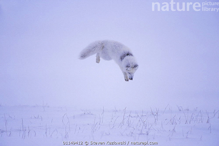 Arctic fox {Alopex lagopus} hunting rodents under the snow, North Slope, Alaska. Sequence 2/3.  ,  ACTION,ARCTIC,BEHAVIOUR,CANIDS,CARNIVORES,FOXES,JUMPING,MAMMALS,MOVEMENT,PREDATION,SNOW,TUNDRA,VERTEBRATES,Dogs,Catalogue1  ,  Steven Kazlowski