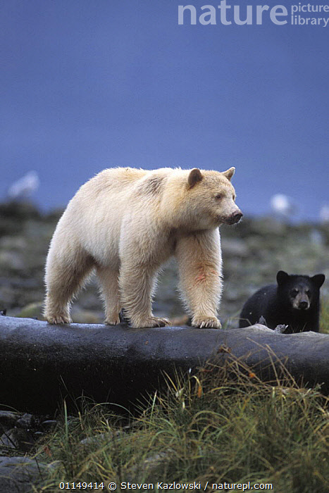 Spirit / Kermode bear {Ursus americanus kermodei} sow walking on fallen tree trunk with cub, Central British Columbia, Canada.  ,  BEARS,CANADA,CARNIVORES,CUBS,MAMMALS,VERTEBRATES,VERTICAL,North America  ,  Steven Kazlowski