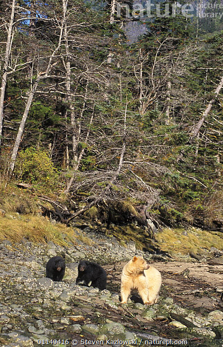 Spirit / Kermode bear {Ursus americanus kermodei} white sow with black cubs, walking along rocky riverbed in temperate rainforest, Central British Columbia, Canada.  ,  BABIES,BABY,BEARS,CANADA,CARNIVORES,COLOUR,COLOUR MORPHISM,CUB,CUBS,ENDANGERED,FAMILIES,MAMMALS,MORPHISM,MOTHER,THREATENED,VERTEBRATES,VERTICAL,North America  ,  Steven Kazlowski
