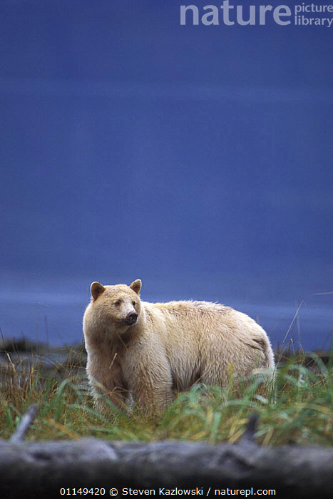 Spirit / Kermode bear {Ursus americanus kermodei} white sow, Central British Columbia, Canada.  ,  BEARS,CANADA,CARNIVORES,COLOUR,ENDANGERED,FEMALE,MAMMALS,MORPHISM,MOTHER,PROFILE,VERTEBRATES,VERTICAL,North America  ,  Steven Kazlowski
