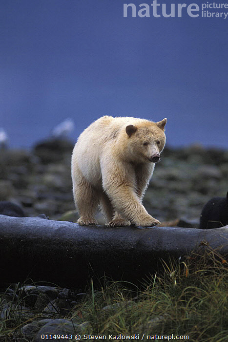 Spirit / Kermode bear {Ursus americanus kermodei} white sow walking on a log at high tide, along the coast of the temperate rainforest, Central British Columbia, Canada.  ,  BEARS,CANADA,CARNIVORES,COLOUR,MAMMALS,MORPHISM,SOW,VERTEBRATES,VERTICAL,North America  ,  Steven Kazlowski