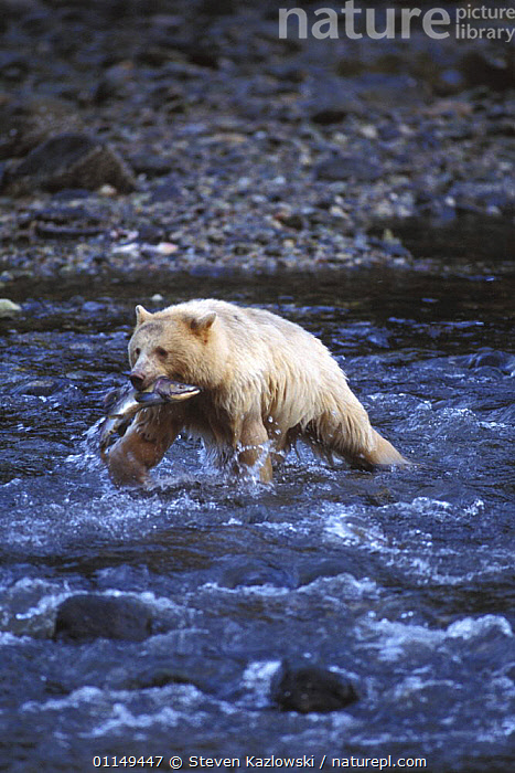Spirit / Kermode bear {Ursus americanus kermodei} white sow with Salmon walking across river in temperate rainforest, Central British Columbia, Canada.  ,  BEARS,CANADA,CARNIVORES,COLOUR MORPHISM,FEEDING,FISH,MAMMALS,MORPHISM,PREDATION,RIVERS,SALMON,VERTEBRATES,VERTICAL,WATER,WILDLIFE,North America,Behaviour  ,  Steven Kazlowski