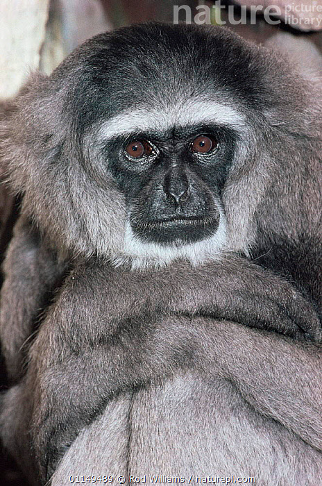 Moloch / Silvery gibbon {Hylobates moloch} critically endangered, captive, from West Java  ,  ASIA,ENDANGERED,FACES,GIBBONS,GREAT APES,HEADS,MAMMALS,PORTRAITS,PRIMATES,VERTICAL,Apes  ,  Rod Williams