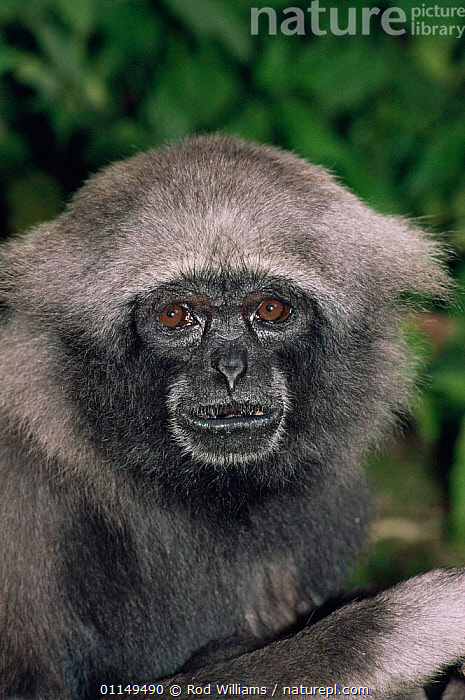 Mueller's / Grey gibbon {Hylobates muerlleri} female, captive, from East Borneo  ,  ASIA,FACES,GIBBONS,GREAT APES,HEADS,MAMMALS,PORTRAITS,PRIMATES,VERTICAL,Apes  ,  Rod Williams