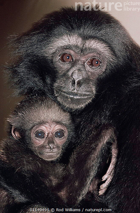 Mueller's / Grey gibbon {Hylobates muerlleri} female with young, captive, from East Borneo  ,  ASIA,BABIES,FACES,FAMILIES,GIBBONS,GREAT APES,HEADS,MAMMALS,PORTRAITS,PRIMATES,VERTICAL,Apes  ,  Rod Williams
