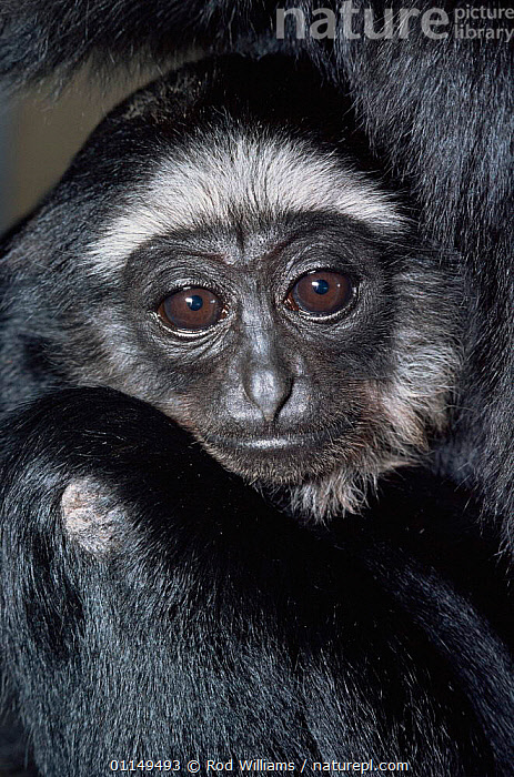Agile gibbon {Hylobates agilis} young, captive, from Malaysia, Sumatra and Borneo  ,  ASIA,BABIES,FACES,GIBBONS,GREAT APES,HEADS,JUVENILE,MAMMALS,PORTRAITS,PRIMATES,VERTEBRATES,VERTICAL,Apes  ,  Rod Williams