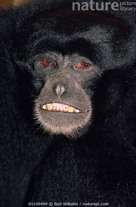 Siamang gibbon, male {Hylobates syndactylus} captive, from Malaysia and Sumatra  ,  ASIA,FACES,GIBBONS,GREAT APES,HEADS,MAMMALS,PORTRAITS,PRIMATES,TEETH,VERTEBRATES,VERTICAL,Apes  ,  Rod Williams