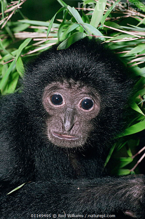 Siamang gibbon, young female {Hylobates syndactylus} captive, from Malaysia and Sumatra  ,  ASIA,FACES,FEMALES,GIBBONS,GREAT APES,HEADS,JUVENILE,MAMMALS,PORTRAITS,PRIMATES,VERTEBRATES,VERTICAL,Apes  ,  Rod Williams
