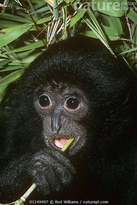 Siamang gibbon {Hylobates / Symphalangus syndactylus} young female feeding, captive, from Malaysia and Sumatra, Endangered  ,  ASIA,ENDANGERED,FACES,FEMALES,GIBBONS,GREAT APES,JUVENILE,MAMMALS,PORTRAITS,PRIMATES,symphalangus,VERTEBRATES,VERTICAL  ,  Rod Williams
