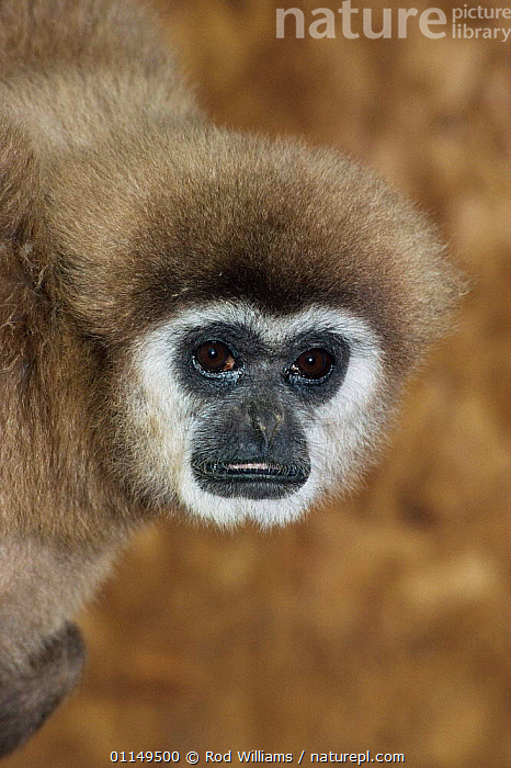 White handed gibbon {Hylobates lar} female, captive, from SE Asia  ,  FACES,FEMALES,GIBBONS,GREAT APES,HEADS,MAMMALS,PORTRAITS,PRIMATES,VERTEBRATES,VERTICAL,Apes  ,  Rod Williams