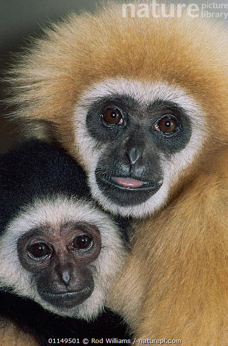 White handed gibbon {Hylobates lar} female and young, captive, from SE Asia  ,  BABIES,FACES,FAMILIES,FEMALES,GIBBONS,GREAT APES,HEADS,MAMMALS,PORTRAITS,PRIMATES,two,VERTEBRATES,VERTICAL,Apes  ,  Rod Williams