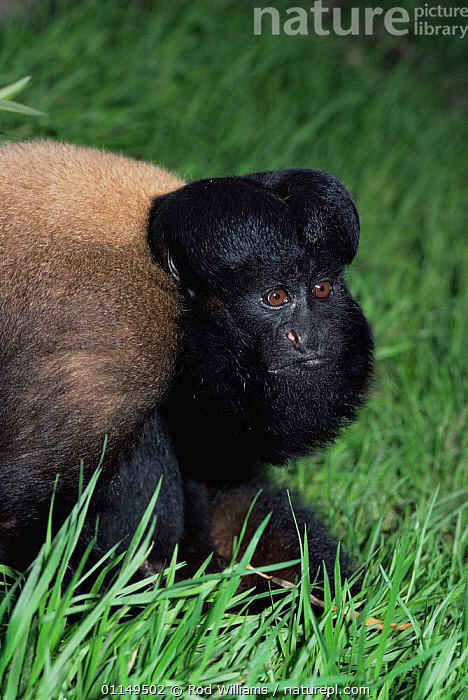 Black bearded saki monkey {Chiropotes satanas} female, captive, from Brazil and Guyana, critically endangered  ,  FEMALES,MAMMALS,MONKEYS,PORTRAITS,PRIMATES,SAKIS,south america,VERTEBRATES,VERTICAL  ,  Rod Williams