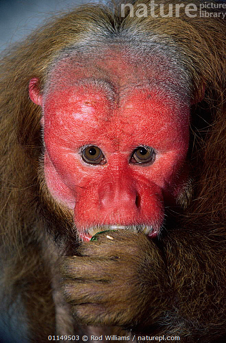 Red Uakari monkey {Cacajao rubicundus} male, captive, from Brazil and Colombia  ,  FACES,HEADS,MALES,MAMMALS,MONKEYS,PORTRAITS,PRIMATES,south america,UAKARIS,ugly,VERTEBRATES,VERTICAL  ,  Rod Williams