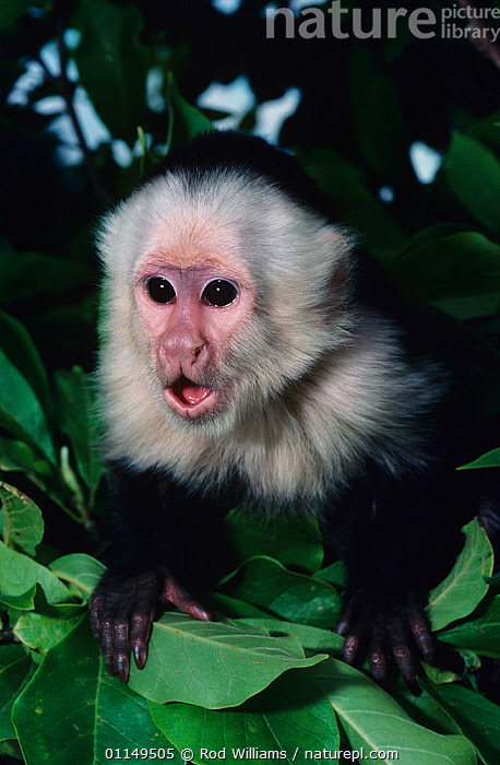 White fronted capuchin monkey {Cebus capucinus} juvenile calling, captive, from South America  ,  BEHAVIOUR,CAPUCHINS,JUVENILE,MAMMALS,MONKEYS,PORTRAITS,PRIMATES,SOUTH AMERICA,VERTEBRATES,VERTICAL,VOCALISATION  ,  Rod Williams