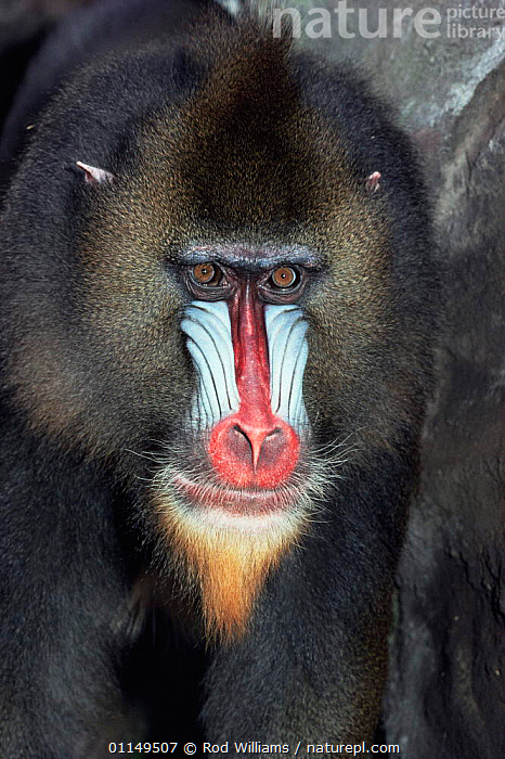 Mandrill {Mandrillus sphinx} male, captive, from Central Africa  ,  BABOONS,COLOURFUL,FACES,HEADS,MALES,MAMMALS,MONKEYS,PORTRAITS,PRIMATES,VERTEBRATES,VERTICAL  ,  Rod Williams