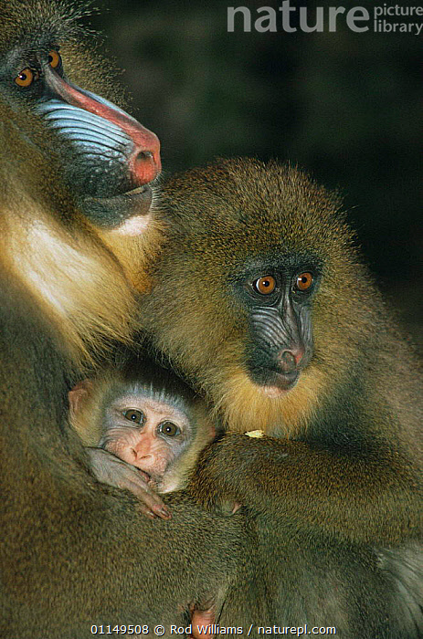 Mandrill {Mandrillus sphinx} female with young of different ages, captive, from Central Africa  ,  BABIES,BABOONS,CUTE,FAMILIES,FEMALES,JUVENILE,MAMMALS,MONKEYS,PORTRAITS,PRIMATES,THREE,VERTEBRATES,VERTICAL  ,  Rod Williams