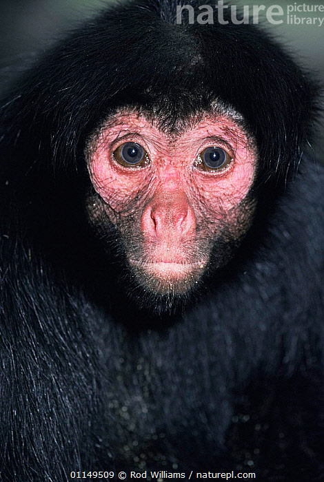 Red faced black spider monkey {Ateles paniscus paniscus} female, captive, from Brazil and Guyana  ,  FACES,FEMALES,HEADS,MAMMALS,MONKEYS,PORTRAITS,PRIMATES,south america,SPIDER MONKEYS,VERTEBRATES,VERTICAL  ,  Rod Williams