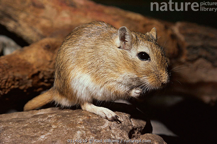 Mongolian gerbil / jird {Meriones unguiculatus} captive, from Asia, this is the species most commonly kept as pets  ,  CLAWED JIRD,domesticated,GERBILS,JIRDS,MAMMALS,PETS,PORTRAITS,rodents,VERTEBRATES,Muridae  ,  Rod Williams