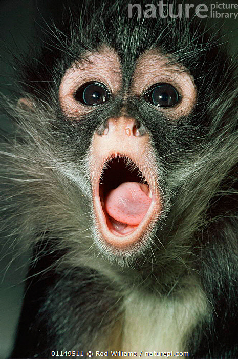 Black handed / Geoffroy's spider monkey {Ateles geoffroyi} juvenile calling, captive, from Central America  ,  FACES,HEADS,immature,JUVENILE,MAMMALS,MONKEYS,MOUTHS,PORTRAITS,PRIMATES,SPIDER MONKEYS,VERTEBRATES,VERTICAL,VOCALISATION,young  ,  Rod Williams