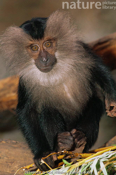 Lion-tailed macaque {Macaca silenus} juvenile, endangered, captive, from S India  ,  ASIA,CUTE,MACAQUES,MAMMALS,MONKEYS,PORTRAITS,PRIMATES,VERTEBRATES,VERTICAL  ,  Rod Williams