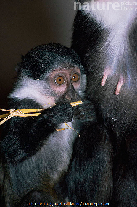 L'Hoests monkey {Cercopithecus h'hoesti} young, captive, from central Africa  ,  BABIES,FEEDING,Guenons,MAMMALS,MONKEYS,nipples,PORTRAITS,PRIMATES,VERTEBRATES,VERTICAL  ,  Rod Williams