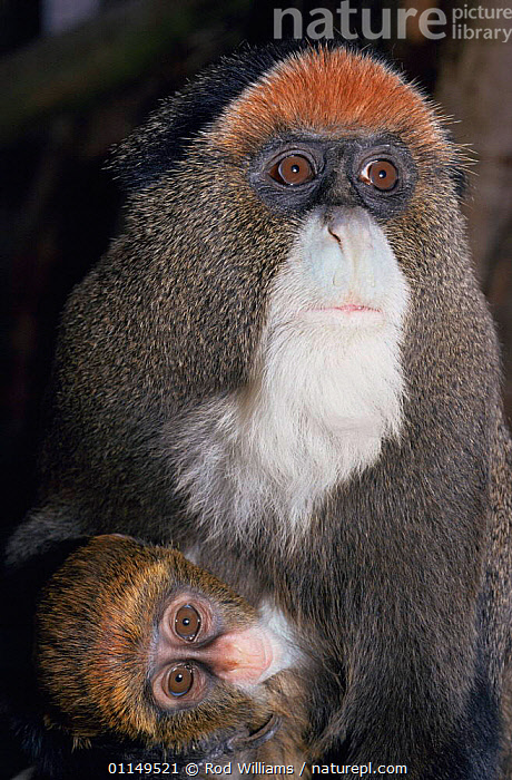 De Brazza's monkey {Cercopithecus neglectus} female with 2-month baby, captive, from Africa  ,  BABIES,FAMILIES,GUENONS,MAMMALS,MONKEYS,PORTRAITS,PRIMATES,VERTEBRATES,VERTICAL  ,  Rod Williams