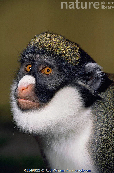 Lesser spot nosed monkey {Cercopithecus petaurista} male, captive, from West Africa  ,  FACES,Guenons,HEADS,MALES,MAMMALS,MONKEYS,PORTRAITS,PRIMATES,VERTEBRATES,VERTICAL  ,  Rod Williams