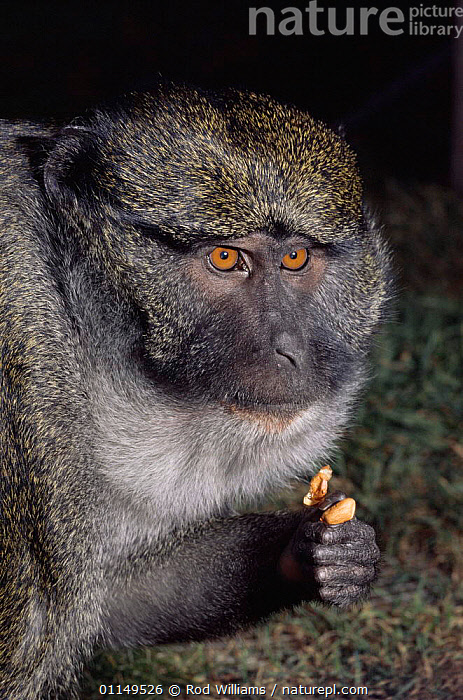 Allen's swamp monkey {Allenopithecus nigroviridis} male feeding on peanuts, captive, from Congo  ,  central africa,MALES,MAMMALS,MONKEYS,Nuts,PORTRAITS,PRIMATES,SWAMP MONKEYS,VERTEBRATES,VERTICAL,Africa  ,  Rod Williams