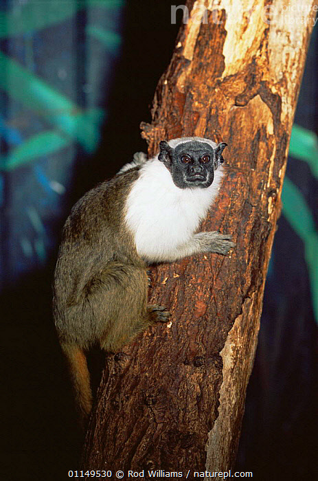 Pied bare faced tamarin {Saguinus bicolor bicolor} endangered, captive, from Brazil  ,  MAMMALS,PORTRAITS,PRIMATES,south america,TAMARINS,VERTEBRATES,VERTICAL,Marmosets  ,  Rod Williams