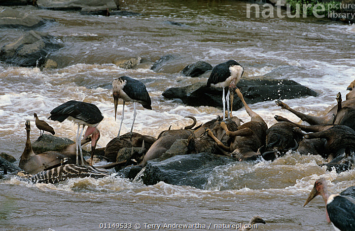 Marabou storks {Leptoptilos crumeniferus} feeding on Wildebeest carcass in Mara river, Kenya  ,  BIRDS,DEATH,East Africa,FEEDING,GROUPS,RIVERS,SCAVENGING,STORKS,VERTEBRATES,wading birds,WATER  ,  Terry Andrewartha
